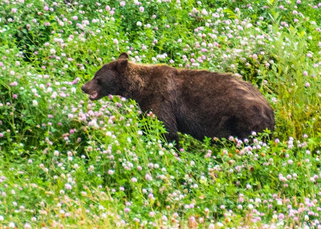 CLOVER BEAR-British Columbia